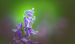 Bluebells (Dhina A) Tags: sony a7rii ilce7rm2 a7r2 a7r samyang 135mm f20 f2 samyang135mmf20 bokeh bokehlicious smooth soft creamy bluebells