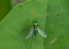 Long-legged Fly (Changer4Ever) Tags: 長足虻 longleggedfly nikon d750 nikkor 1050mmf28 life nature season bokeh dof depthoffield closeup macro insect fly wings green