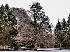 un quadro di fine inverno (Fernando De March) Tags: quadrofineinvernoalberonaturaneve artista pennellate