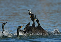 Cormorant with Fish (KoolPix) Tags: cormorant bird water pond fish beak feathers koolpix jaykoolpix naturephotography nature wildlife wildlifephotos naturephotos naturephotographer animalphotographer wcswebsite nationalgeographic fantasticnature amazingnature wonderfulbirdphotos animal amazingwildlifephotos fantasticnaturephotos incrediblenature wildlifephotography wildlifephotographer mothernature