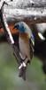 Lazuli Bunting (Susan Jarnagin) Tags: bunting lazulibunting passerinaamoena finch bird
