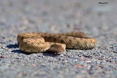 Jeune vipère / Young viper - HBW (BPBP42) Tags: animal nature serpent snake bokeh