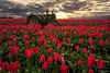 Beauty and the Beast (Hilton Chen) Tags: spring tractor landscape flowers dramaticsky johndeere lightbeams woodenshoetulipfarm woodburn redtulips complementarycolors oregon sunrise colorcontrast unitedstates us