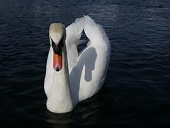 Swan and the shadow (Päivi ♪♫) Tags: norway oslo oslofjord kayak paddling sea swan white shadow april