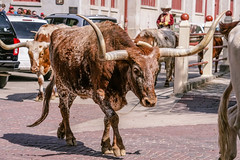 FortWorth_142 (allen ramlow) Tags: fort worth texas longhorn cattle parade city urban cowboy sony a6500