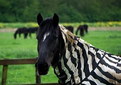 Horse, pretending to be a zebra (Ineke Klaassen) Tags: horse paard paarden horses animal animals zebra heukelum pretending sony sonyimages sonya6000 sonyalpha sonyalpha6000 sonyilce6000 ilce animallife animali animaux mirrorless animalplanet lingewaal gelderland geldersestreken wei weide 1025fav 10faves 10fav 200views
