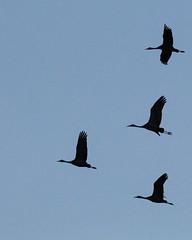 Escher Print (RPahre) Tags: crane sandhillcrane bird bluesky migration kearney nebraska escher mcescher