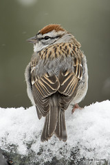 Chipping Sparrow (sunnyf16) Tags: chippingsparrow bird migration lakecountyforestpreserves lakecountyil robertvisconti sunnyf16 snowstorm