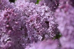 DSC_0072 (griecocathy) Tags: arbuste fleurs lilas gouttelette eau rosée éclat lumineux rose vert macro