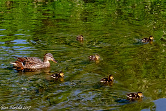 A new family to grow up (Gian Floridia) Tags: anatra chicks duck ducklings famiglia family pulcini
