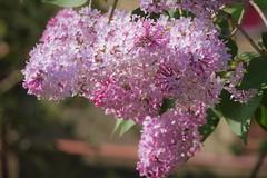 Juste avant la tempête.... (LOLODUTERRIER) Tags: fleursprintemps blanc odeur parfum tulipe lilas bouledeneige viorme rose rouge bleu myosotis fleur printemps été iris jardin aubépine