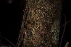 Paradromulia ambigua (dustaway) Tags: arthropoda insecta lepidoptera geometridae ennominae paradromuliaambigua geometermoth geometridmoth ambiguousmoth australianmoths australianinsects tamborinemountain mounttamborine sequeensland queensland nature australia australianwildlife crypsis camouflage