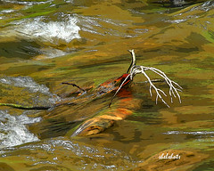 Running Waters (shelshots) Tags: stream rushing waters photoshop