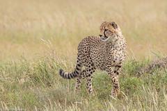 CA3I4250-Cheetah (tfells) Tags: mammal africa nature wildlife tanzania serengeti safari