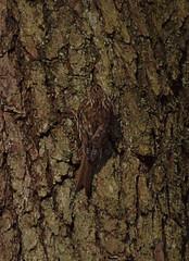 2018_04_0328 (petermit2) Tags: padleygorge burbagebrook grindleford grindlefordstation longshaw peakdistrict ancientwoodland woodland derbyshire treecreeper