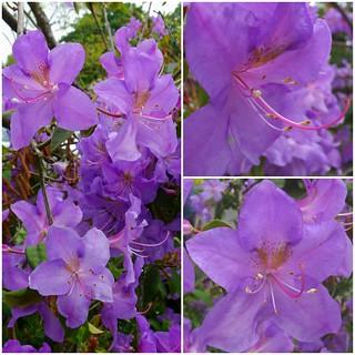 Purple Rhodendron