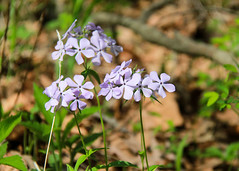 Woodland (blue) phlox (RPahre) Tags: piatt piattcounty robertallertonpark allertonpark allerton universityofillinois wildflowers phlox bluephlox woodlandphlox spring