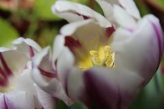 IMG_6952 (Usagi93190) Tags: purple white tulip macro proxi nature flower pollen