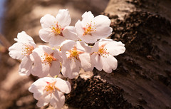 Blossoms (jasohill) Tags: 2018 glow spring flowers tohoku blossom fierce iwate sakura photography sunset tree hachimantai pink matsuo life city fire cherry rain japan shidare