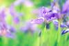 Purple Love (Elizabeth_211) Tags: iris flower garden bokeh floral purple