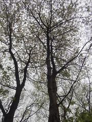 Wild Cherry (Baractus) Tags: earlswood moathouse nature reserve warwickshire uk john oates wild cherry wildlife trust