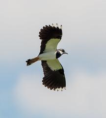 Rainham flying Lapwing