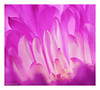 Pink Waves (Graham Pym) Tags: fantasticnature flowers flora pink petals nikon macro chrysanthemum