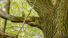 Bannams Wood 13th May 2018 (boddle (Steve Hart)) Tags: stevestevenhartcoventryunitedkingdomcanon5d4 steve hart boddle steven bruce wyke road wyken coventry united kingdon england great britain canon 5d mk4 6d 100400mm is usm ii 2470mm standard wild wilds wildlife life nature natural bird birds flowers flower fungii fungus insect insects spiders butterfly moth butterflies moths creepy crawley winter spring summer autumn seasons sunset weather sun sky cloud clouds panoramic landscape mortonbagot unitedkingdom gb
