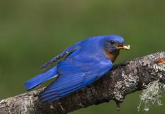 Eastern Bluebird, male (AllHarts) Tags: maleeasternbluebird backyardbirds memphistn naturesspirit thesunshinegroup naturescarousel ngc coth coth5 challengeclubchampions