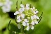 White wild  flowers (cattan2011) Tags: 花 travel white naturelovers natureperfection naturephotography nature macrophoto macrophotography macro landscapeportrait landscape flowers