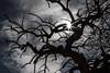 It Was a Dark & Scary Tree (Jay:Dee) Tags: topw toronto photo walks 2018topwrs island cherry blossoms walk backlit flare