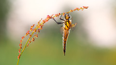 Viervlek - Four-spotted chaser (Wim Boon Fotografie) Tags: wimboon viervlek macro macrofotografie nederland netherlands natuur nature sunset libel dragonfly canoneos5dmarkiii canon100mmf28lismacro hoekzoeker