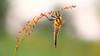 Viervlek - Four-spotted chaser (Wim Boon (wimzilver)) Tags: wimboon viervlek macro macrofotografie nederland netherlands natuur nature sunset libel dragonfly canoneos5dmarkiii canon100mmf28lismacro hoekzoeker