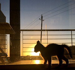 Ollie in the sunset (rjmiller1807) Tags: sunset balcony cat kitty kitten meow sweet silhouette westbeach fosterkitten blouberg bloubergstrand blaauwberg capetown 2017 westerncape iphone iphonography iphonese cute adopt foster adoption adoptdontshop