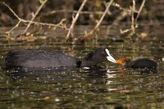 Coot or Eurasian coot  feeding her young  (Fulica atra) (GrahamParryWildlife) Tags: mk2 7d sport 150600 sigma grahamparrywildlife uk kent rspb animal outdoor viewing photo flickr add new sunlight depth field plumage bird up blue sky dof kentwildlife marsh dungeness landscape red eye coot cute cootling cuties young orange reflected cootlings