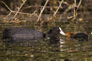 Coot or Eurasian coot  feeding her young  (Fulica atra)
