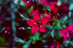 Blutnelken (reinhard.mailaender) Tags: eos canond30 canonphoto steiermark flower nelke blutnelke
