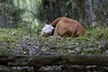 Calf having a nap (Henri Koskinen) Tags: kyyttö itäsuomenkarja isk 17052018 breed cattle calf forest pasture metsälaidun vasikka nauta kirkkonummi finland