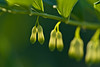 Solomon's Seal (pstenzel71) Tags: blumen natur pflanzen salomonssiegel solomonsseal polygonatum flower spring darktable bokeh