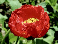 Popping Red (Robert Cowlishaw (Mertonian)) Tags: theheartofthematter beauty beautifulsunset petals simplicity macro heart red awe ineffable canonpowershotg1xmarkiii markiii g1x powershot canon robertcowlishaw mertonian passionatecreation