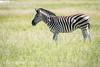 A zebra in the grasslands of the savanna in Hwange National Park. Hwange, Zimbabwe. (Remsberg Photos) Tags: zimbabwe africa wildlife animalwildlife safari zebras plainszebras commonzebra burchellszebra quagga mammal prey herbivore striped pattern hwangenationalpark hwange
