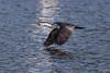 Pied Cormorant in Flight (RoosterMan64) Tags: australia australiannativebird bif bird birdinflight cormorant nsw nature piedcormorant waterbird wildlife