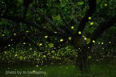 梅の木の周りで踊る姫たち。_K1_17639 (m.hamajima) Tags: pentax k1 ホタル 蛍 ヒメボタル 姫蛍 firefly fa77mmf18