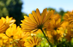 Whitsunday (farmspeedracer) Tags: nature mai may mayo germany sun light sunday flower blume amarillo gelb yellow warmth park garden