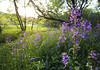 Purple Invasion (Tiara Rae Photography) Tags: purple invasion dames rocket flower plants invasive species noxious weed violet color golden hour omaha nebraska nature zorinsky lake