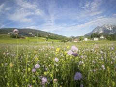 P5230069 (turbok) Tags: gumpenstein irdning orte witwenblume blumen pflanzen c kurt krimberger