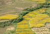 _29A0340.0917.Tả Van.Sapa.Lào Cai. (hoanglongphoto) Tags: asia asian vietnam northvietnam northwestvietnam landscape scenery vietnamlandscape vietnamscenery vietnamscene terraces terracedfields terracedfieldsinvietnam valley muonghoavalley harvest canon làocai sapa thunglũngmườnghoa phongcảnh ruộngbậcthang lúachín mùagặt sapamùalúachín sapamùagặt laochải landscapewithpeople phongcảnhcóngười canoneos5dsr canonef200mmf28liiusm