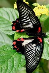Butterfly (Aperture111-Thanks for 1900000+ views) Tags: sigma105mm sonyalpha65 butterfly schmetterling makro macro