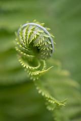 Fun with ferns II (vogl_claus) Tags: fern unrolling shape