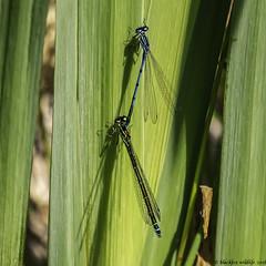 the coupling (blackfox wildlife and nature imaging) Tags: panasonicg80 leica100400 damselflies conwayrspb wales insects closeups